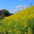 Photos: 源氏川の菜の花 常陸太田