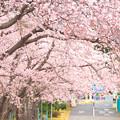 7 常陸多賀駅裏の桜並木