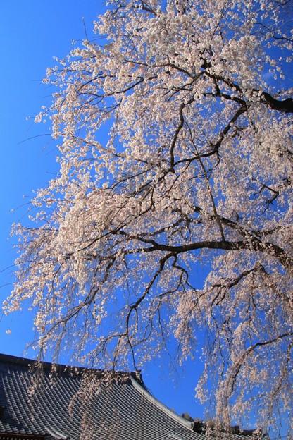 Photos: 報佛寺のシダレ桜 水戸市