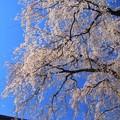 報佛寺のシダレ桜 水戸市