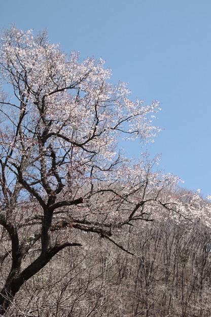Photos: 127 黒田口の桜