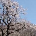 130 曙橋黒田入口の桜