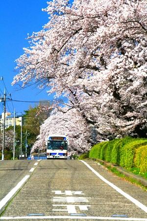 59 会瀬グラウンドの桜