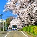 707 会瀬グラウンドの桜