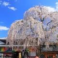 一乗院のシダレ桜 那珂市