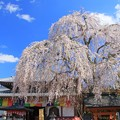 Photos: 一乗院のシダレ桜 那珂市