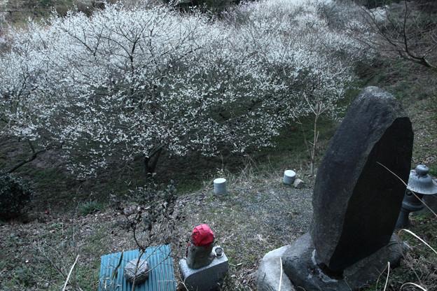 Photos: 539 下深萩の梅林 夕凪之社