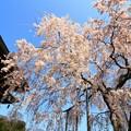 Photos: 宝蔵寺のシダレ桜