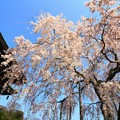 宝蔵寺のシダレ桜