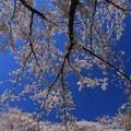 319 もとみや児童公園の桜