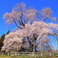 Photos: 戸津辺の桜