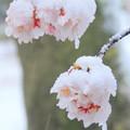 桜隠しの雪
