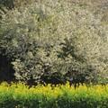 鵜の島保養所の大島桜