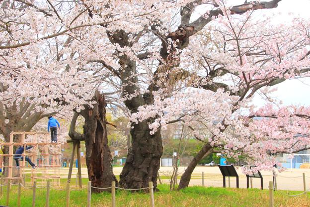Photos: 672 五代桜 日立市 助川小学校