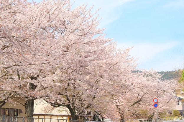 Photos: 301 滑川小学校の桜