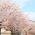 滑川小学校の桜