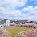 355 日立市消防本部 桐木田の桜