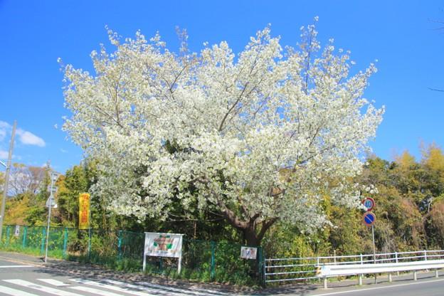 514 中小路の大島桜