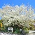 603 中小路の大島桜