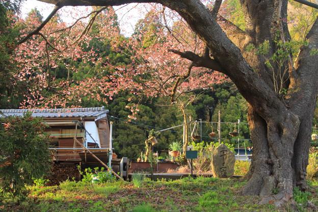 134 二十三夜尊の桜