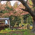 Photos: 134 二十三夜尊の桜