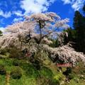 泉福寺のシダレザクラ 常陸太田市