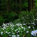 Photos: 450 御岩神社のシャガ