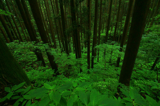 Photos: 110 ブナの原生林 堅破山