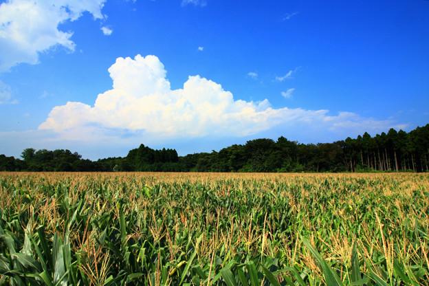 151 日立のフィールド・オブ・ドリームス とうもろこし畑