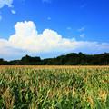 日立のフィールド・オブ・ドリームス とうもろこし畑