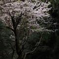 石尊山の桜並木