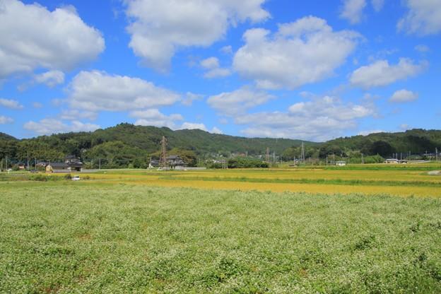 Photos: 常陸太田の蕎麦畑 常陸秋そば