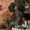Photos: 587 常念杉