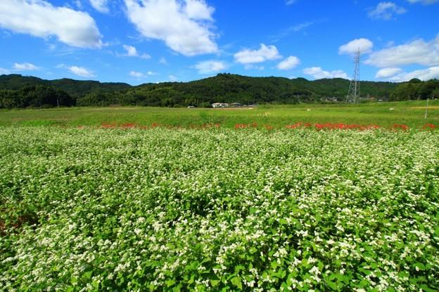Photos: 常陸秋そば 常陸太田の蕎麦畑