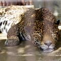 写真: 寝るジャガー その1
