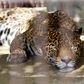 Photos: 寝るジャガー その1