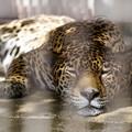 写真: 寝るジャガー その2