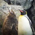 オウサマペンギン1