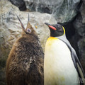 オウサマペンギン2