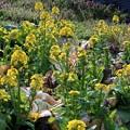 Photos: 白菜の花