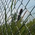 写真: ガマの穂