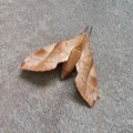 枯葉のような蛾?