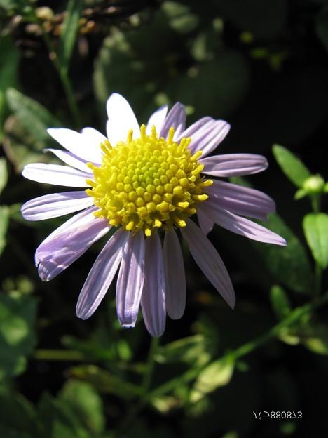カントウヨメナの花♪