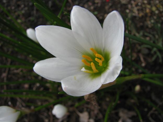 タマスダレの花(2)