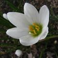 写真: タマスダレの花(2)