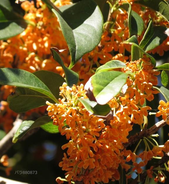満開の金木犀の花♪