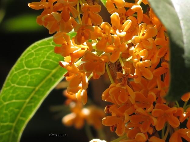逆光の中の金木犀の花♪