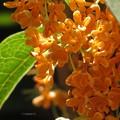 写真: 逆光の中の金木犀の花♪