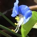 ツユクサの花