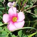 オキザリスの花♪